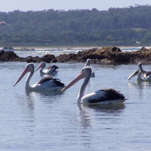 Group pelican beach